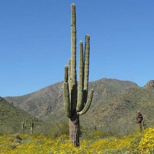 Saguaro Cactus - Carnegiea gigantea